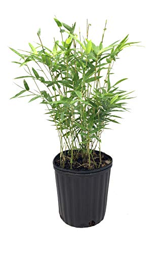 Golden Goddess Hedge Bamboo Plant - 1 Live Plant - Bambusa Multiplex - 6 Inch Pot - Non-invasive Clumping