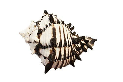 """Florida Shells and Gifts Inc. Black Murex Shell Seashell (4"""" - 5"""") 2"""" opening Hermit Crab Beach Decor Crafts Air Plants"""