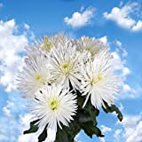200 Fresh Cut White Fuji Spider Mums | Fresh Flowers Express Delivery | Perfect for Birthdays, Anniversary or any occasion.