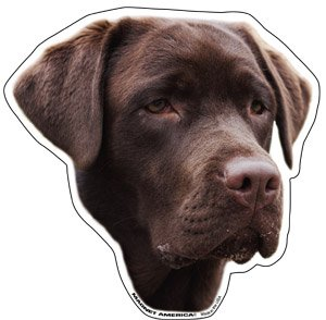 Chocolate Labrador Retriever ()