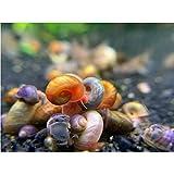 """Kazen Aquatic Mix Colors ramshorn Snails. (Baby to juvinile Size 1/8""""+)"""