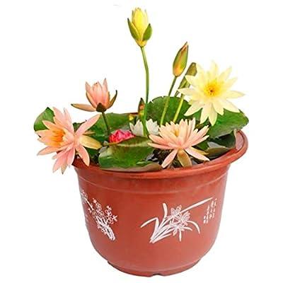 10 pcs/Bag Bonsai Flower Lotus Flower for Summer 100% Real Bowl Lotus pots Bonsai Garden Plants (Random Color Expect Surprise) : Garden & Outdoor