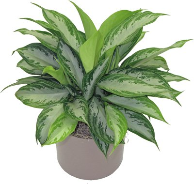 Plant Chinese Evergreen (Aglaonema Silver Bay Chinese Evergreen (Gray and Green), 6