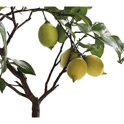 MAPPLEGREEN Bonsai Lemon Tree Bonsai High Survival Rate Fruit Tree Bonsai for Home Gatden Backyard (50Pieces): Garden & Outdoor