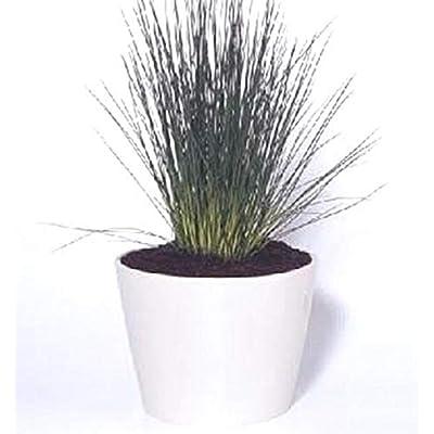 Ornamental Grass Seed - Juncus Inflexus Blue Arrows Seeds : Garden & Outdoor