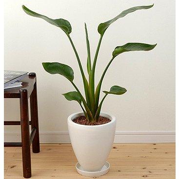 旅人の木 オーガスタ 陶器 鉢植え観葉植物 インテリア グリーン B0011721HG