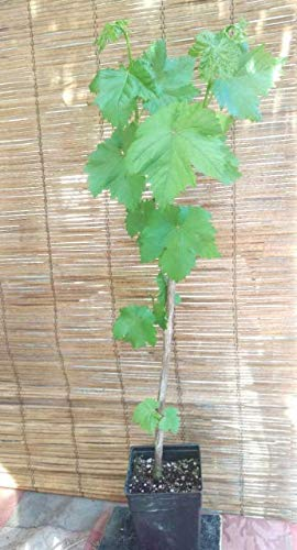 Live Plant Thompson Seedless Grape Vine Get 1 Plant #BSG01YN