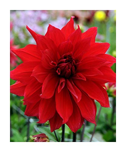 Babylon Red Dinnerplate Dahlia - 2 Bulb Clumps ()