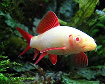 amazon com worldwidetropicals live freshwater aquarium fish 2 5