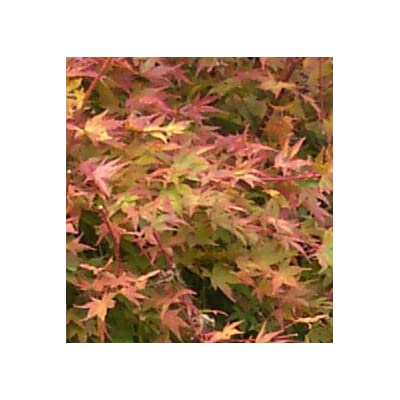 Beni Kawa Japanese Maple/Tree/Plant Acer Seeds (10) Excellent for Japanese Bonsai Full to Part Sun : Garden & Outdoor