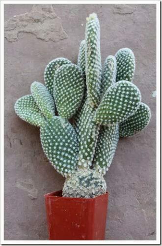 - Bunny Ear Cactus - 3