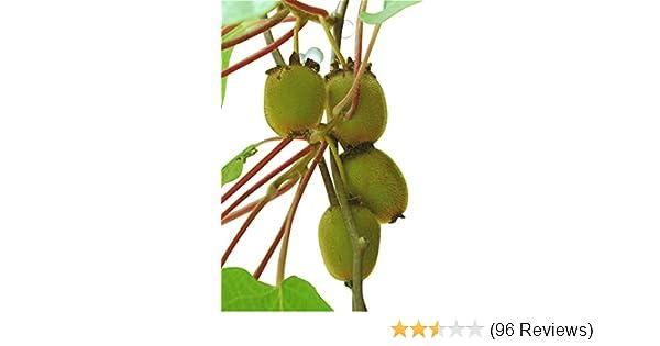 Tree 120pcs Bonsai Kiwi Fruit Tree Seeds Garden Home Pot Sweet Fast Growing Garden Patio Quatrok Com Br