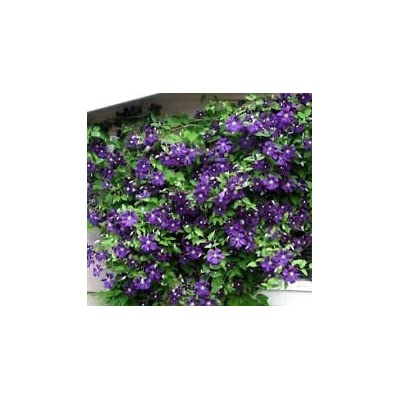 "Jackmanii Superba Clematis Vine - 2.5"" Pot : Garden & Outdoor"