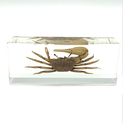Fiddler crab Paperweight Paperweights Specimen Specimens for Science Education(4.4x1.6x1.1'') by Amazingbug