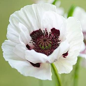 Amazon 40 coral reef poppy flower seeds papaver orientale 100 organic white afghan poppy seeds papaver somniferum mightylinksfo