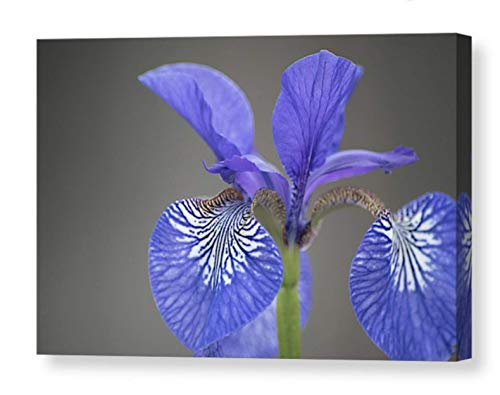(Floral Photographic Print on CANVAS Blue Iris Photo Minimalist Art Flower Photography Gray Purple Black and White Picture Garden Home Decor Ready to Hang 8x10 8x12 11x14 12x18 16x20 16x24)