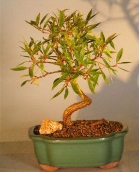 Amazon Com Bonsai Boy S Willow Leaf Ficus Bonsai Tree Coiled Trunk Large Ficus Nerifolia Salicafolia Bonsai Plants Grocery Gourmet Food