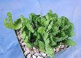 "1 Euphorbia Flanaganii""Medusa Head"" Succulent Nice Plant Rare MHWK45"