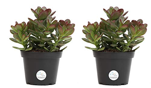 Costa Farms Jade Plant, Crassula ovuta, Live Succulent Plant, 2-Pack, Ship in 4-Inch Grow Pot, Easy to Grow by Costa Farms