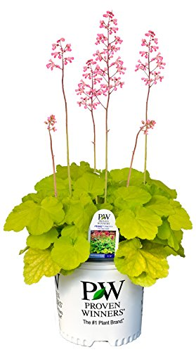 Primo Pretty Pistachio Coral Bells (Heuchera) Live Plant, Green Foliage and Pink Flowers, 0.65 Gallon (Bells Shade Coral)