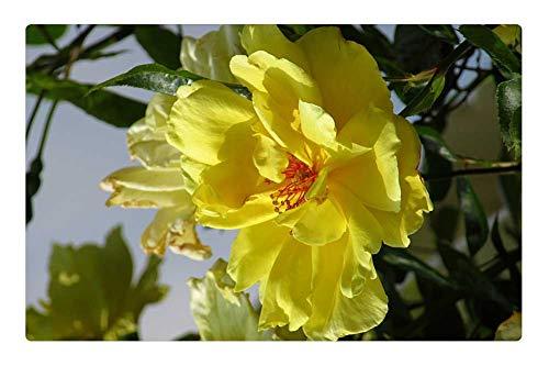 Rug/Mat (23.6 x 15.7 Inch) - Yellow Rose Rose Rambler Macro Nature in Bloom ()