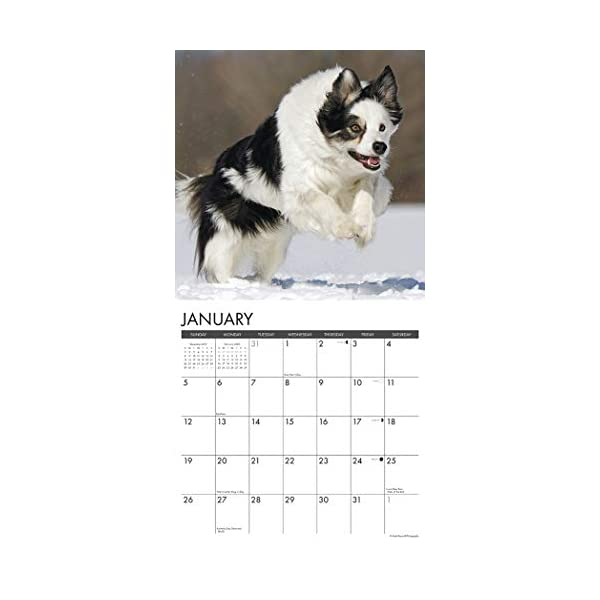 Just Border Collies 2020 Wall Calendar (Dog Breed Calendar) 2