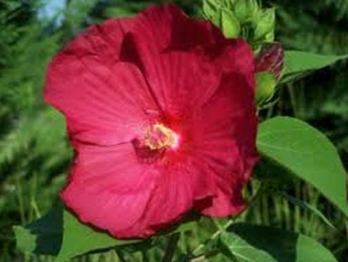 Fresh Hibiscus (Dinnerplate) Huge Beautiful 10 Seeds Blooms