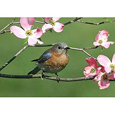 Grand Portrait, With Expert Quality, Female Eastern Bluebird (Sialia Sialis) with Pink Dogwood Flowers