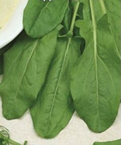 Organic Rare Sorrel Seeds Odessa 17'' Perennial Heirloom Herbs. 1500 Seeds.