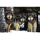 1art1 40977 Poster Loups Vue d'Hiver 91 X 61 cm