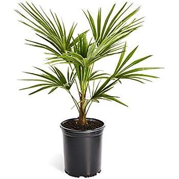28188c5c3 Amazon.com : Windmill Palm Tree- Large Cold Hardy Palm Trees ...