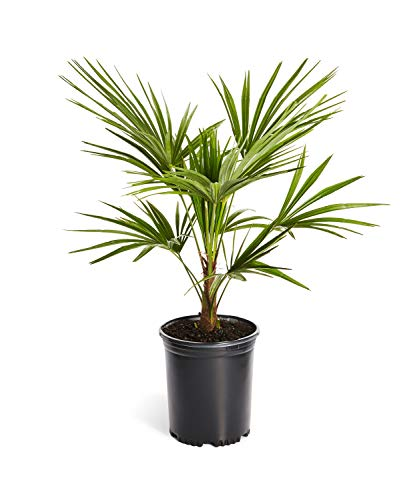 Windmill Palm Tree- Large Cold Hardy Palm Trees- Trachycarpus Fortunei- Big 1 Gallon or 3 Gallon Palms Available - 3 Gallon]()