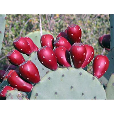Winter-Resistant Spineless Prickly Pear 2 Cactus Pads Hardy Easy to Grow #TND145 : Garden & Outdoor