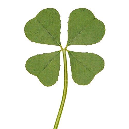 Clover Shamrock Charm Leaf - Vintage Repertory Natural Genuine Real 4 Four-Leaf Clover Green Irish Shamrock St. Patric's Day Luucky Charm Pressed Flower Stuff for Favours Supplies DIY Crafts Handmade Art Materials Medium