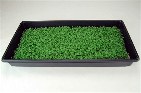 Genovese Basil Microgreens Seeds - Non-GMO Bulk Seed for Growing Micro Herbs, Indoor Gardening, Herb Garden, Micro Greens (5 Lb) by Mountain Valley Seed Company (Image #5)