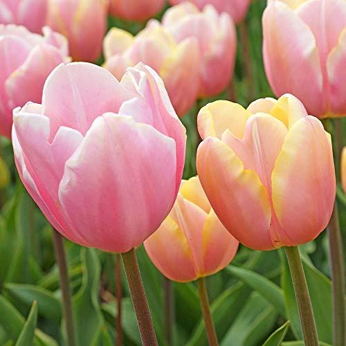 Wayside Gardens Tulip Triumph Mango Charm - Bulb by Wayside Gardens