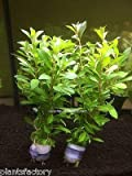 Ludwigia Arcuata - Needle Leaf Repens Live Aquarium Plants Bunch
