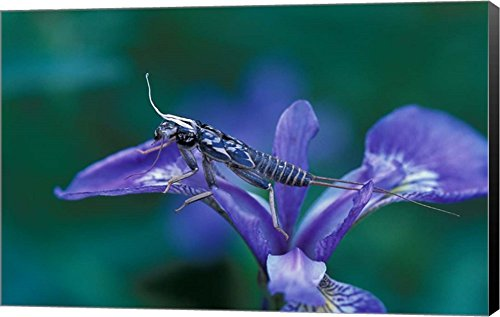 - Blue Flag with Caddis Fly Exoskeleton, Androscoggin River, Errol, New Hampshire by Jerry & Marcy Monkman/Danita Delimont Canvas Art Wall Picture, Museum Wrapped with Black Sides, 22 x 14 inches