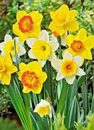 50 Daffodil Mixture - Narcissus Large Cupped Giant Mixture by Daylily Nursery