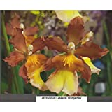 H821 Odontocidium Catatante 'Orange Kiss' 3 1/4'' Pot S368
