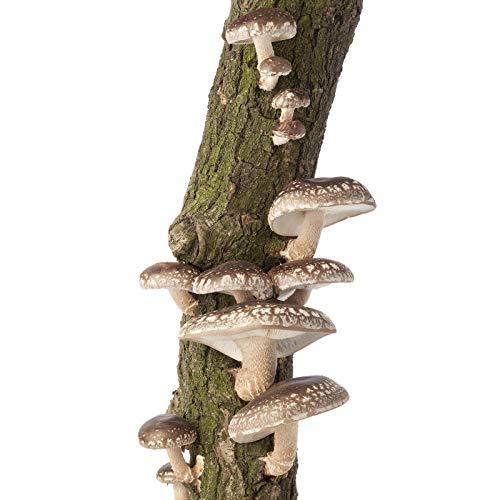 Mushroom Mojo Shiitake Mushroom Log - 12 Inch - Grow Edible Gourmet Fungi - Preinoculated Mycelium Log Kit - Ready to Grow - Great Gift Idea (Best Way To Grow Shrooms)