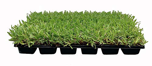 St. Augustine 'Palmetto' 3 Inch Sod Plugs - 36 Live Plugs - Drought, Salt, Shade, Cold, Heat & Frost Tolerant Turf Grass