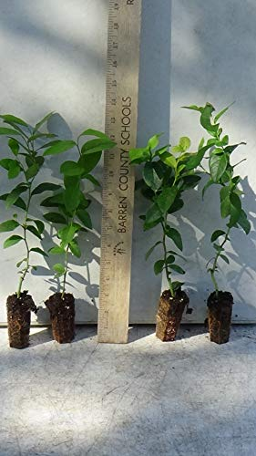 4 Blueberry Bush Plants - Choose from Several Different Varieties by Bon Bon's Blueberries (Image #1)
