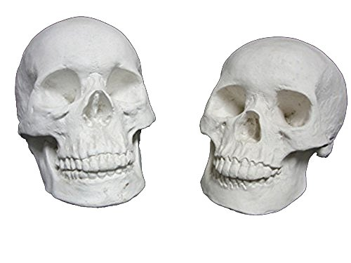 Torino Life Size Male and Female Skull Plaster Cast Mannequin Set, Great for Artists, Artistic Piece, White, 22