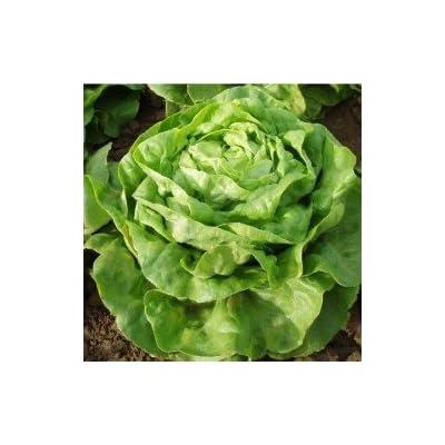 Organic Buttercrunch Lettuce Seeds - 50 Seeds : Garden & Outdoor