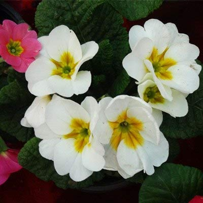 Primula vulgaris  Hill flower seeds 50 pcs Primrose
