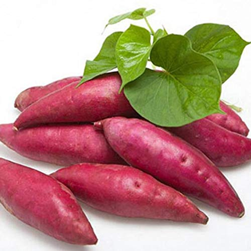 (Caiuet Seed,20pcs/50pcs Sweet Potato Seeds Delicious Vegetables Seeds Non-Transgenic Plant Seeds,Suitable for Home Gardening Balcony Planting)