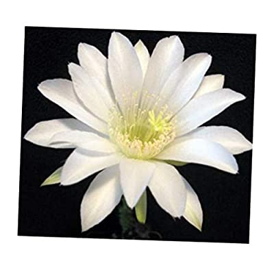 LAY 1 Rooted White Succulent Clumping Plant Easterlily/Sea Urchin Cactus Echinopsis Subdenuda - RK158 : Garden & Outdoor