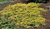 full shade shrubs (1 Gallon) All Gold Juniper is a groundcover that forms a mat of soft golden foliage.