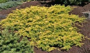 (1 Gallon) All Gold Juniper is a groundcover that forms a mat of soft golden foliage.